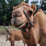 camelmilk_camel1